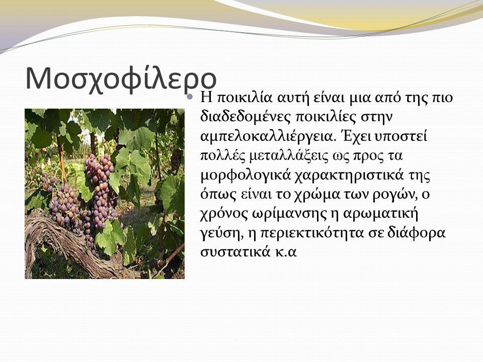 Μοσχοφίλερο Η ποικιλία αυτή είναι μια από της πιο διαδεδομένες ποικιλίες στην αμπελοκαλλιέργεια. Έχει υποστεί πολλές μεταλλάξεις ως προς τα μορφολογικ