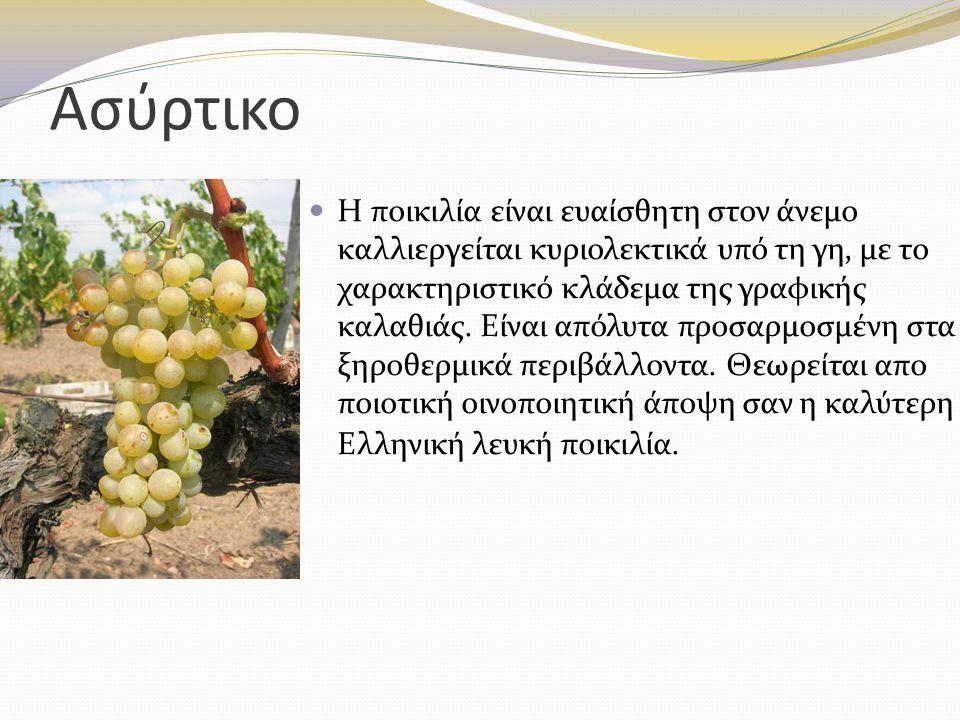Μαυροδάφνη Ποικιλία μέτριας ζωηρότητας, φυτό γόνιμο, παραγωγικό αλλά ευαίσθητο στην ξηρασία.