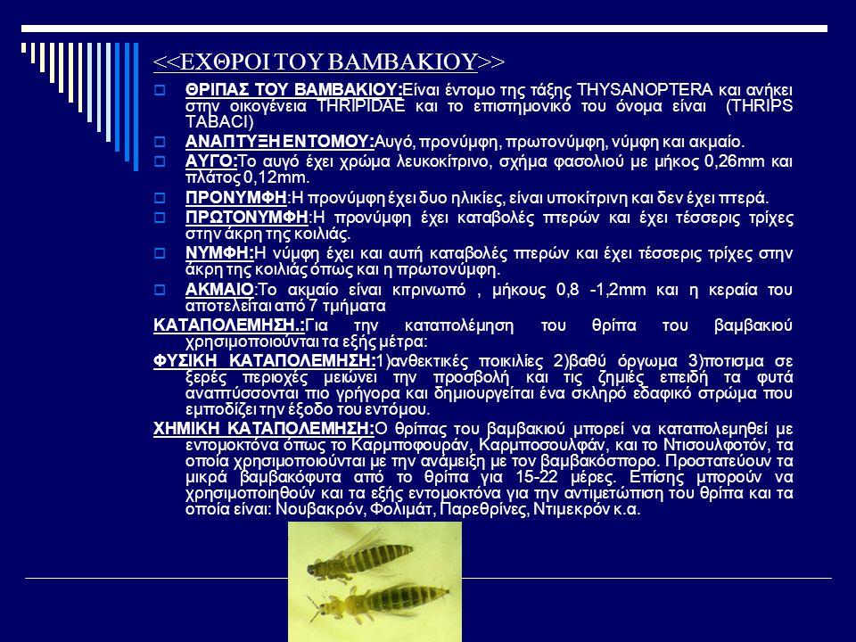 >  ΘΡΙΠΑΣ ΤΟΥ ΒΑΜΒΑΚΙΟΥ:Είναι έντομο της τάξης THYSANOPTERA και ανήκει στην οικογένεια THRIPIDAE και το επιστημονικό του όνομα είναι (THRIPS TABACI)