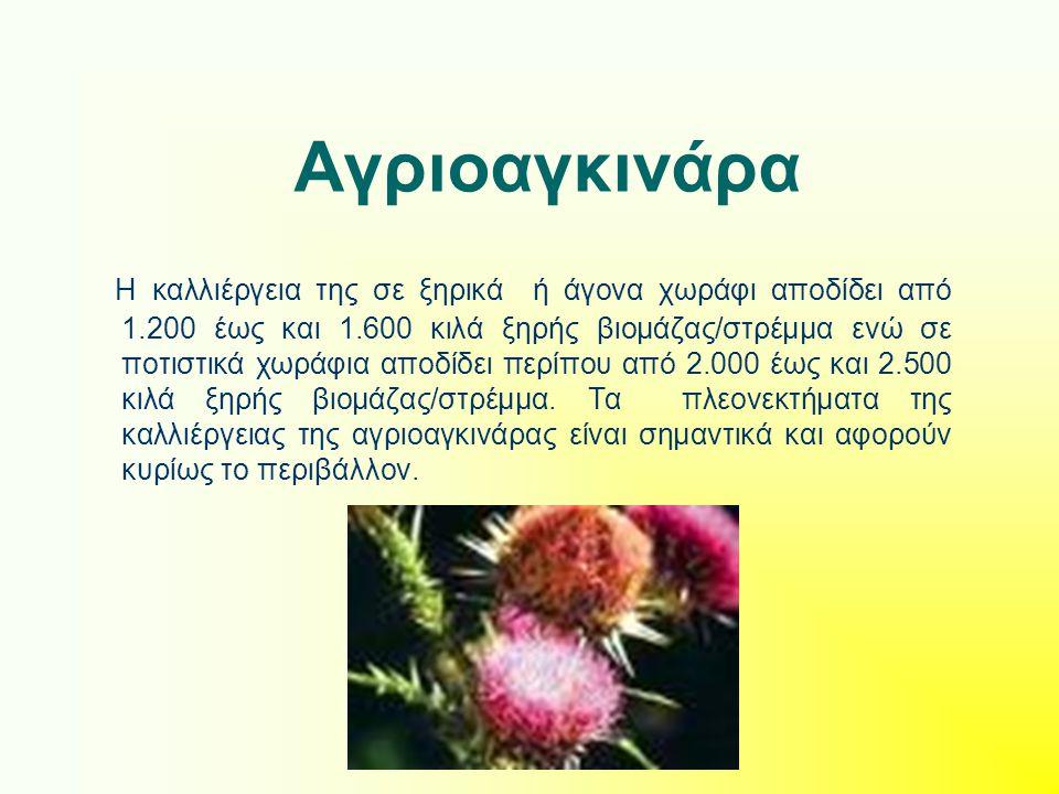 Αγριοαγκινάρα Η καλλιέργεια της σε ξηρικά ή άγονα χωράφι αποδίδει από 1.200 έως και 1.600 κιλά ξηρής βιομάζας/στρέμμα ενώ σε ποτιστικά χωράφια αποδίδε