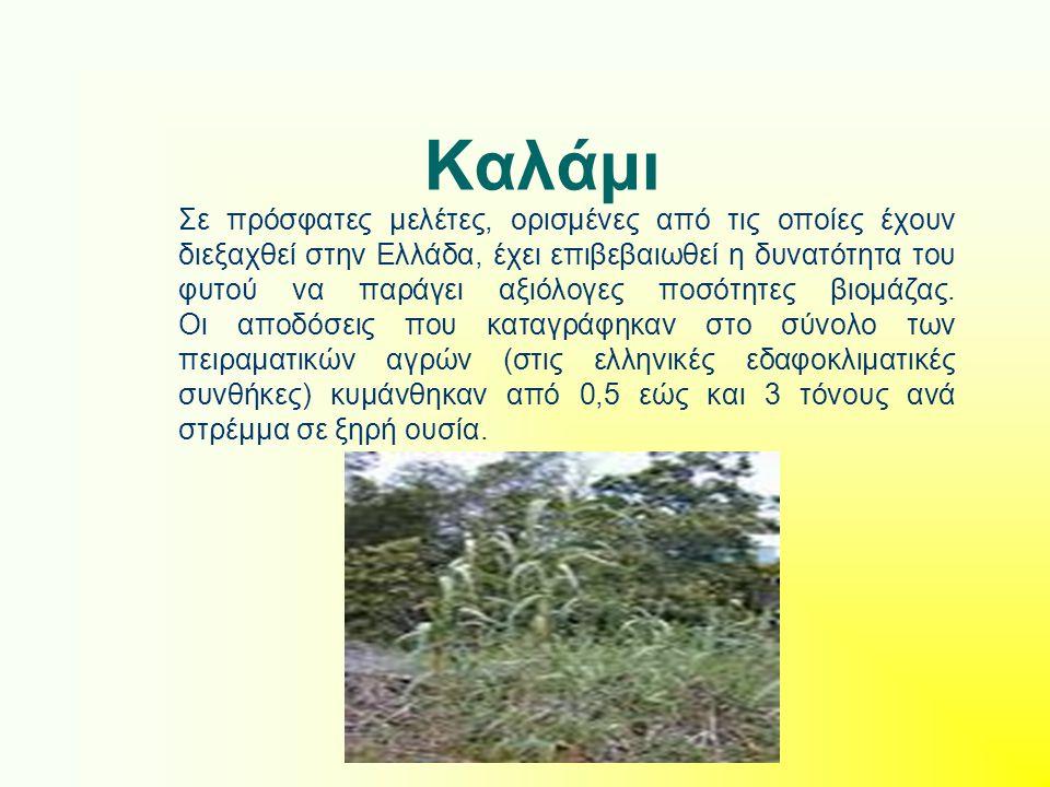Καλάμι Σε πρόσφατες μελέτες, ορισμένες από τις οποίες έχουν διεξαχθεί στην Ελλάδα, έχει επιβεβαιωθεί η δυνατότητα του φυτού να παράγει αξιόλογες ποσότ