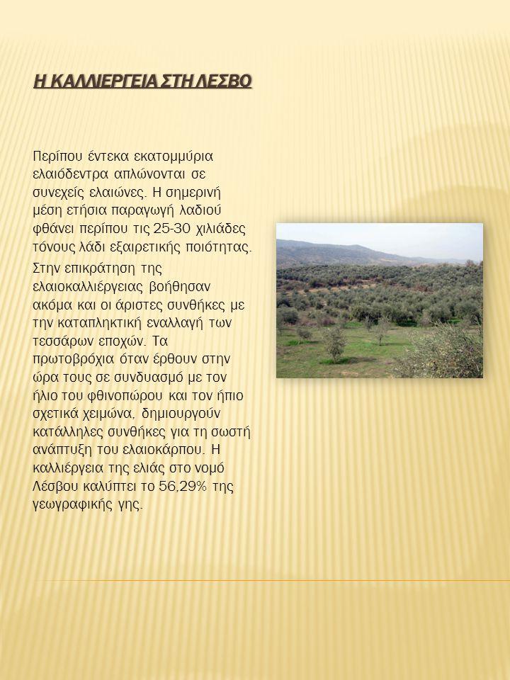 Η ΚΑΛΛΙΕΡΓΕΙΑ ΣΤΗ ΛΕΣΒΟΗ ΚΑΛΛΙΕΡΓΕΙΑ ΣΤΗ ΛΕΣΒΟ Περίπου έντεκα εκατομμύρια ελαιόδεντρα απλώνονται σε συνεχείς ελαιώνες. Η σημερινή μέση ετήσια παραγωγή