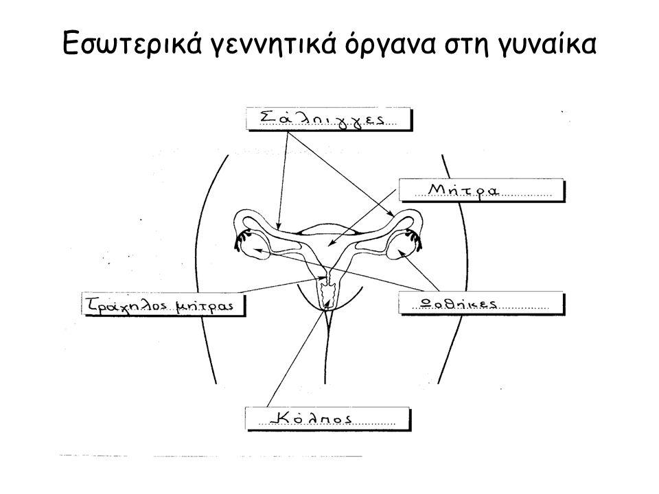Εσωτερικά γεννητικά όργανα στη γυναίκα