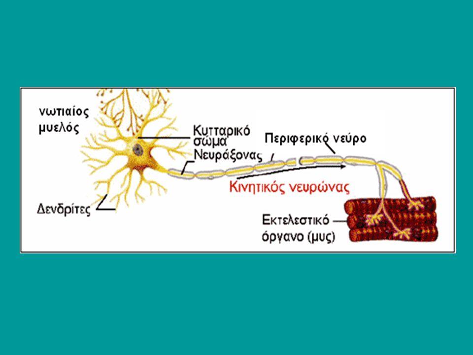 Oι νευρικές ώσεις που δημιουργούνται στις απολήξεις, άγονται μέσω των αξόνων προς το ΚΝΣ Εκεί προκαλούν τη διέγερση συγκεκριμένων νευρικών οδών, οι οποίες καταλήγουν σε συγκεκριμένες περιοχές του εγκέφαλου και τον ενημερώνουν