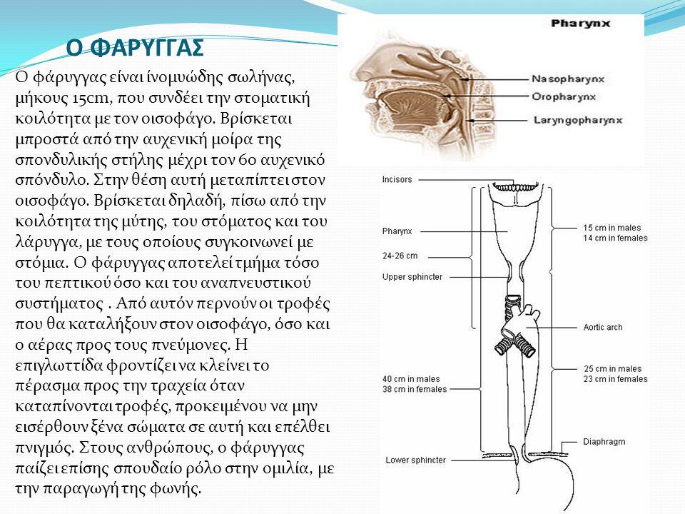 Ο ΦΑΡΥΓΓΑΣ Ο φάρυγγας είναι ίνομυώδης σωλήνας, μήκους 15cm, που συνδέει την στοματική κοιλότητα με τον οισοφάγο. Βρίσκεται μπροστά από την αυχενική μο