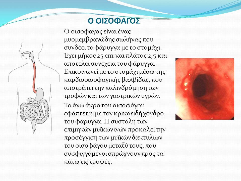 Ο ΟΙΣΟΦΑΓΟΣ Ο οισοφάγος είναι ένας μυομεμβρανώδης σωλήνας που συνδέει το φάρυγγα με το στομάχι. Έχει μήκος 25 cm και πλάτος 2,5 και αποτελεί συνέχεια