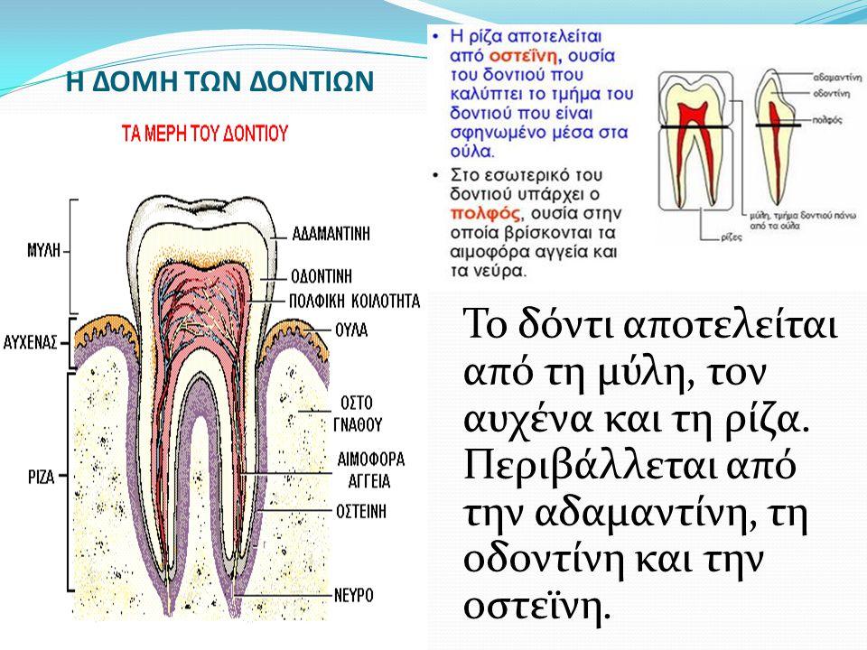Η ΔΟΜΗ ΤΩΝ ΔΟΝΤΙΩΝ Το δόντι αποτελείται από τη μύλη, τον αυχένα και τη ρίζα. Περιβάλλεται από την αδαμαντίνη, τη οδοντίνη και την οστεϊνη.