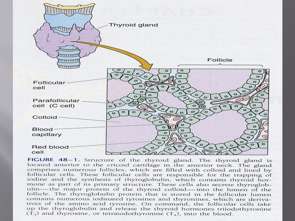  Η μεγάλη αύξηση της παραγωγής των θυρεοειδικών ορμονών συνεπάγεται, σε όλες σχεδόν τις περιπτώσεις, ελάττωση του σωματικού βάρους.