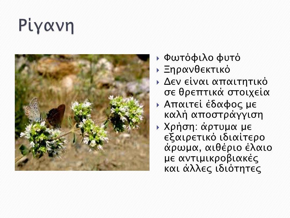  Φωτόφιλο φυτό  Ξηρανθεκτικό  Δεν είναι απαιτητικό σε θρεπτικά στοιχεία  Απαιτεί έδαφος με καλή αποστράγγιση  Χρήση: άρτυμα με εξαιρετικό ιδιαίτε