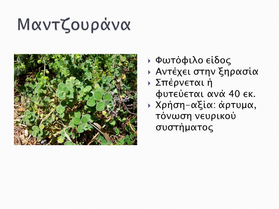  Φωτόφιλο είδος  Αντέχει στην ξηρασία  Σπέρνεται ή φυτεύεται ανά 40 εκ.  Χρήση-αξία: άρτυμα, τόνωση νευρικού συστήματος
