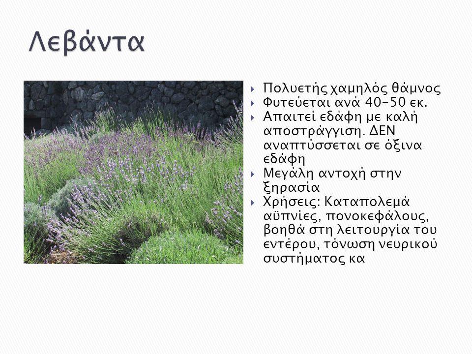  Πολυετής χαμηλός θάμνος  Φυτεύεται ανά 40-50 εκ.  Απαιτεί εδάφη με καλή αποστράγγιση. ΔΕΝ αναπτύσσεται σε όξινα εδάφη  Μεγάλη αντοχή στην ξηρασία