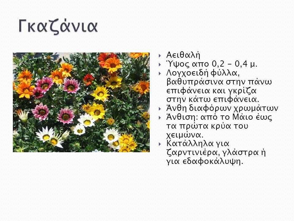  Αειθαλή  Ύψος απο 0,2 - 0,4 μ.  Λογχοειδή φύλλα, βαθυπράσινα στην πάνω επιφάνεια και γκρίζα στην κάτω επιφάνεια.  Άνθη διαφόρων χρωμάτων  Άνθιση