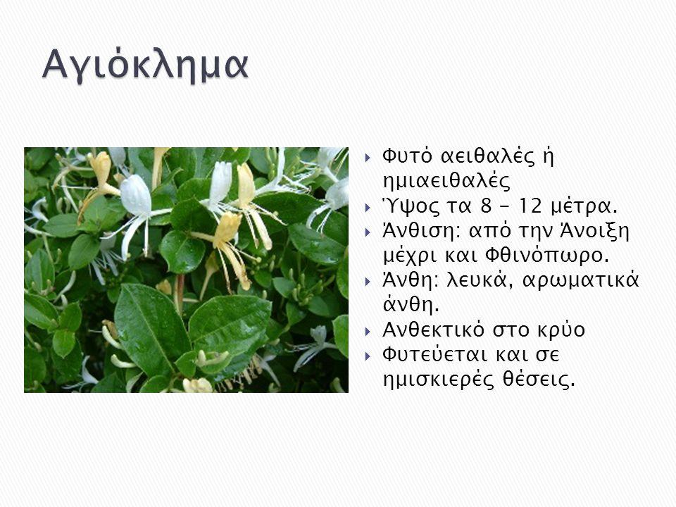  Φυτό αειθαλές ή ημιαειθαλές  Ύψος τα 8 - 12 μέτρα.  Άνθιση: από την Άνοιξη μέχρι και Φθινόπωρο.  Άνθη: λευκά, αρωματικά άνθη.  Ανθεκτικό στο κρύ