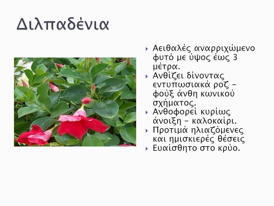  Αειθαλές αναρριχώμενο φυτό με ύψος έως 3 μέτρα.  Ανθίζει δίνοντας εντυπωσιακά ροζ - φούξ άνθη κωνικού σχήματος.  Ανθοφορεί κυρίως άνοιξη - καλοκαί