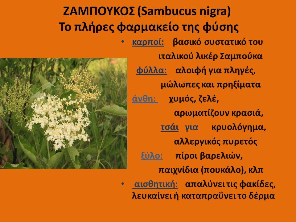 ΖΑΜΠΟΥΚΟΣ (Sambucus nigra) Το πλήρες φαρμακείο της φύσης καρποί: βασικό συστατικό του ιταλικού λικέρ Σαμπούκα φύλλα: αλοιφή για πληγές, μώλωπες και πρ