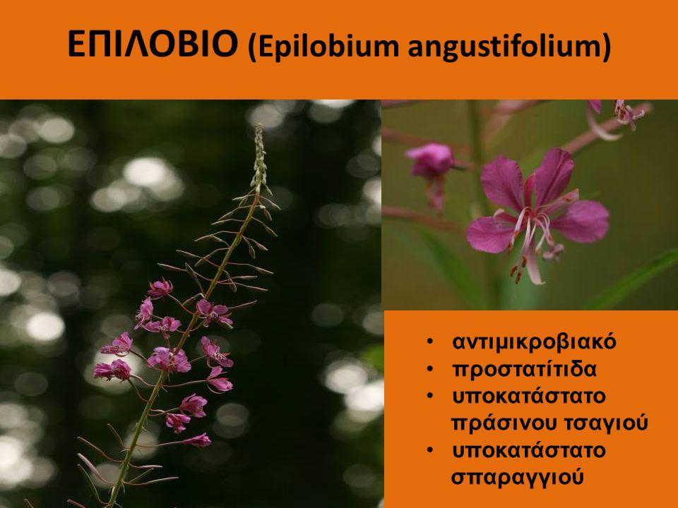 ΕΠΙΛΟΒΙΟ (Epilobium angustifolium) αντιμικροβιακό προστατίτιδα υποκατάστατο πράσινου τσαγιού υποκατάστατο σπαραγγιού