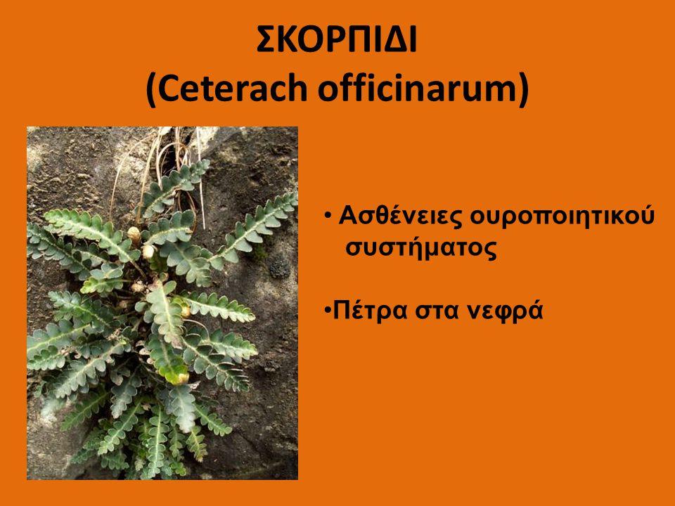 ΣΚΟΡΠΙΔΙ (Ceterach officinarum) Ασθένειες ουροποιητικού συστήματος Πέτρα στα νεφρά