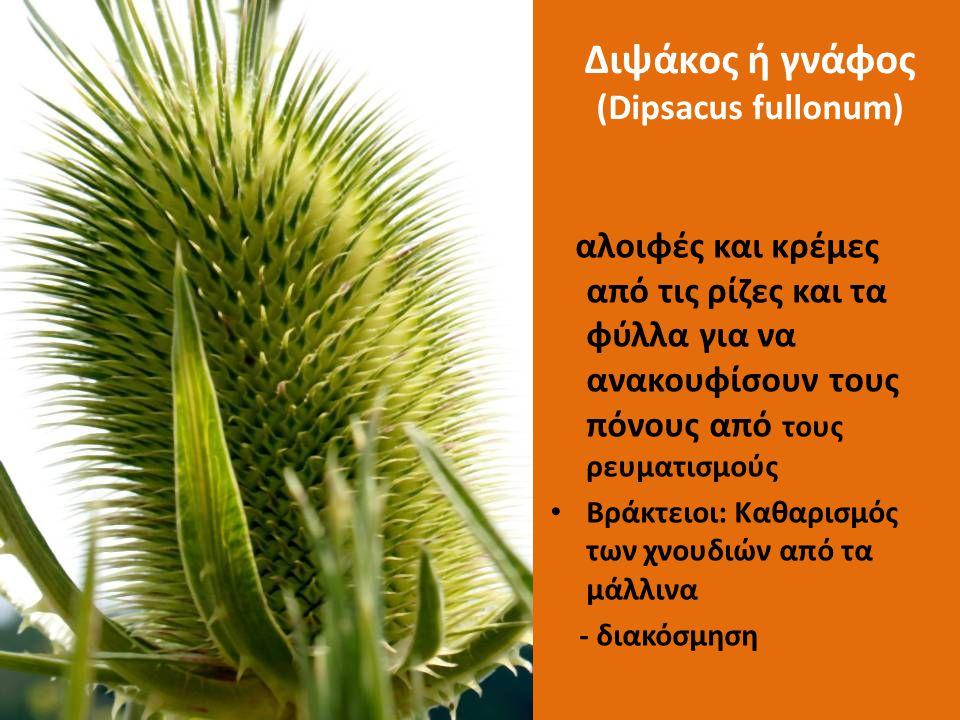 Διψάκος ή γνάφος (Dipsacus fullonum) αλοιφές και κρέμες από τις ρίζες και τα φύλλα για να ανακουφίσουν τους πόνους από τους ρευματισμούς Βράκτειοι: Κα