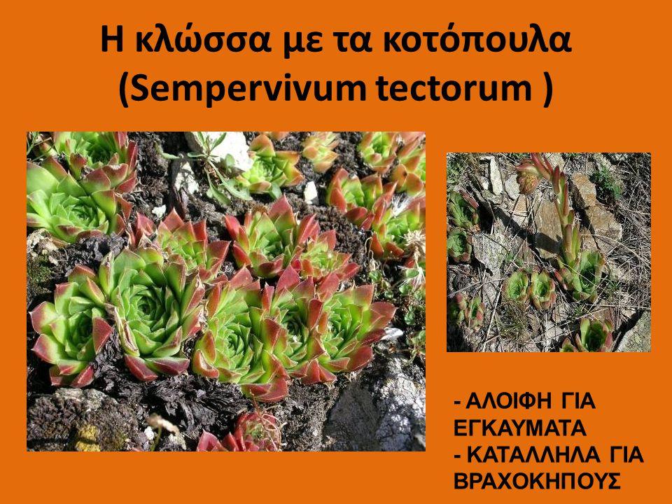 H κλώσσα με τα κοτόπουλα (Sempervivum tectorum ) - ΑΛΟΙΦΗ ΓΙΑ ΕΓΚΑΥΜΑΤΑ - ΚΑΤΑΛΛΗΛΑ ΓΙΑ ΒΡΑΧΟΚΗΠΟΥΣ
