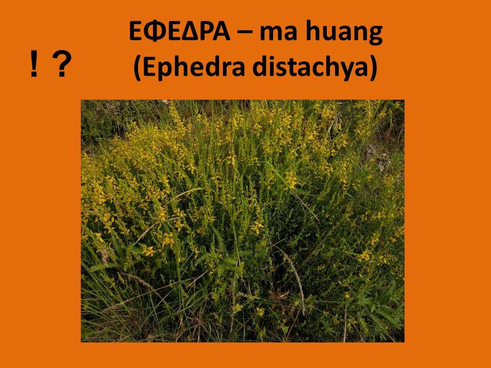 ΕΦΕΔΡΑ – ma huang (Ephedra distachya) ! ?