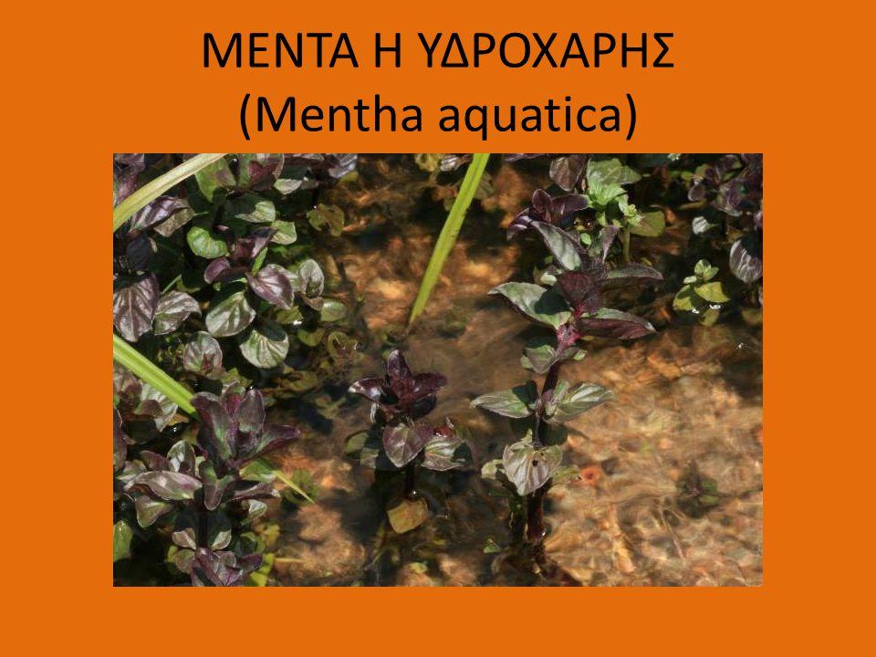 ΜΕΝΤΑ Η ΥΔΡΟΧΑΡΗΣ (Mentha aquatica)