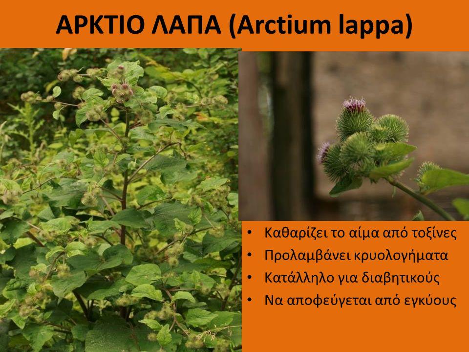 ΑΡΚΤΙΟ ΛΑΠΑ (Arctium lappa) Καθαρίζει το αίμα από τοξίνες Προλαμβάνει κρυολογήματα Κατάλληλο για διαβητικούς Να αποφεύγεται από εγκύους