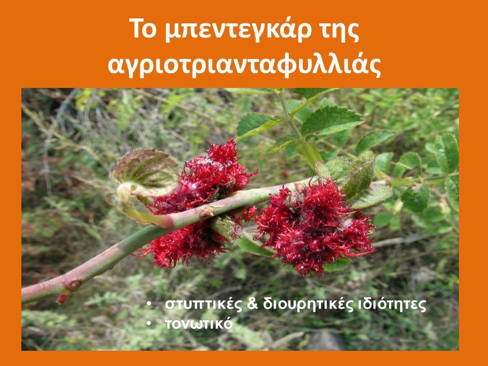Ζαμπούκος ο έβουλος (Sambucus ebulus) ΠΡΟΣΟΧΗ: ΣΥΓΧΥΣΗ ΜΕ ΤΟΝ Sambucus nigra