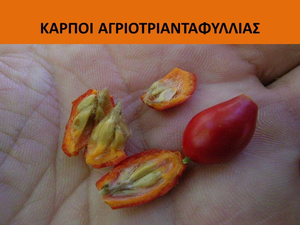 ΑΡΧΑΓΓΕΛΙΚΗ (Angelica archangelica) αρωματικό φυτό με γλυκιά μυρωδιά: συστατικό του ποτού βενεδικτίνη, τζιν, βερμούτ και αρωμάτων Τονωτικό, χωνευτικό, αποχρεμπτικό καλλιεργείται !!.