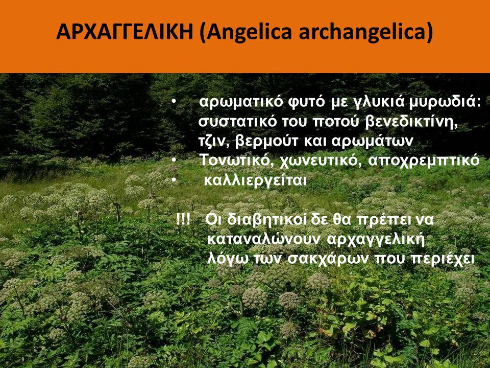 ΑΡΧΑΓΓΕΛΙΚΗ (Angelica archangelica) αρωματικό φυτό με γλυκιά μυρωδιά: συστατικό του ποτού βενεδικτίνη, τζιν, βερμούτ και αρωμάτων Τονωτικό, χωνευτικό,