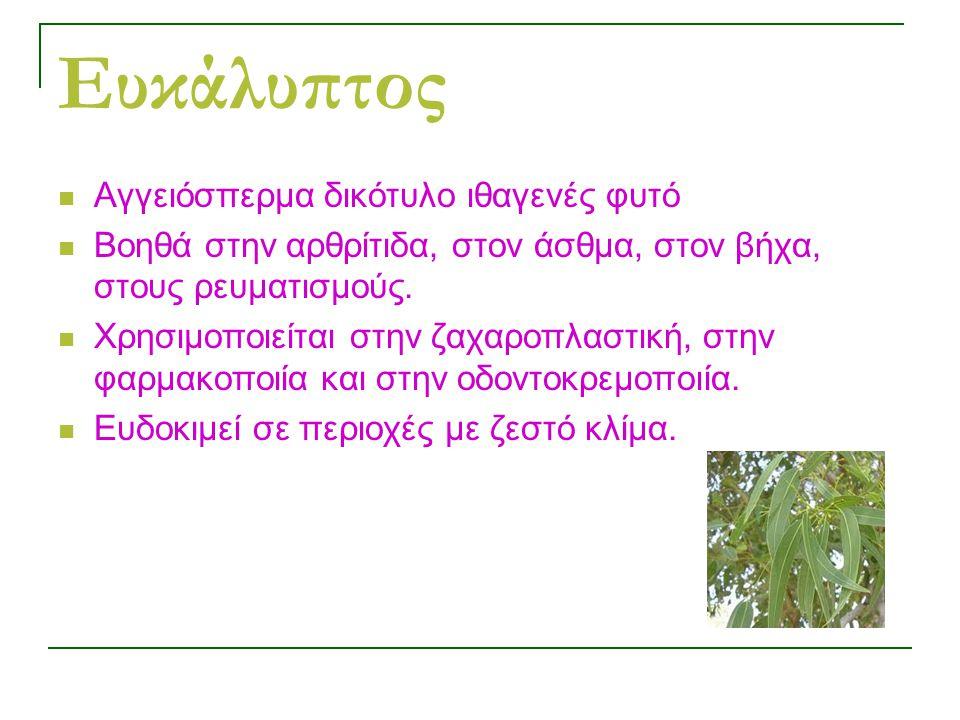 Ευκάλυπτος Αγγειόσπερμα δικότυλο ιθαγενές φυτό Βοηθά στην αρθρίτιδα, στον άσθμα, στον βήχα, στους ρευματισμούς.