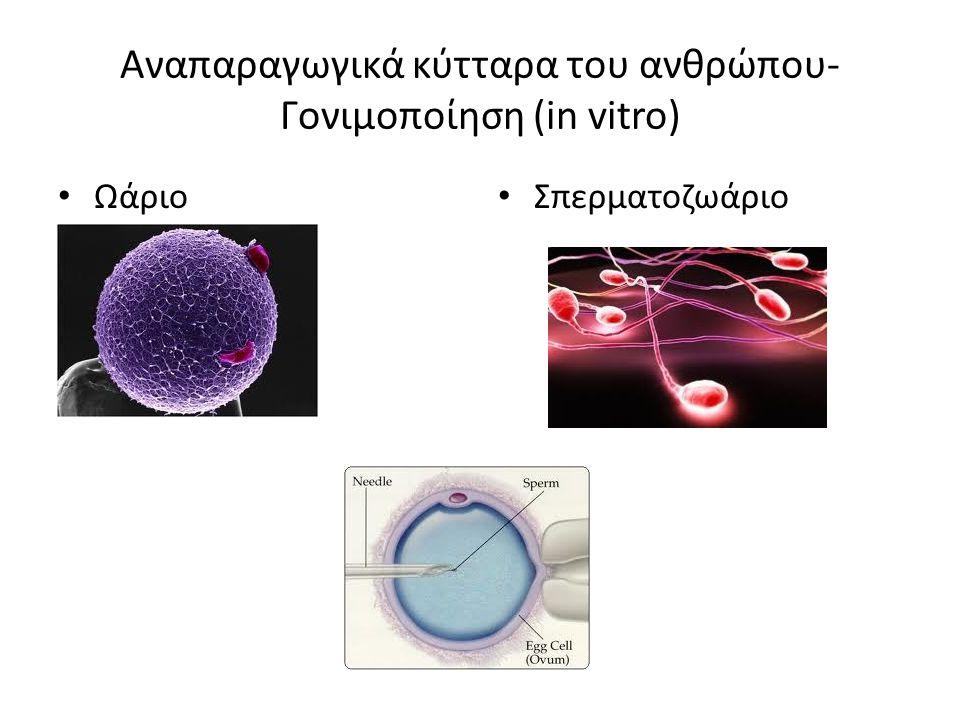 Αναπαραγωγικά κύτταρα του ανθρώπου- Γονιμοποίηση (in vitro) Ωάριο Σπερματοζωάριο