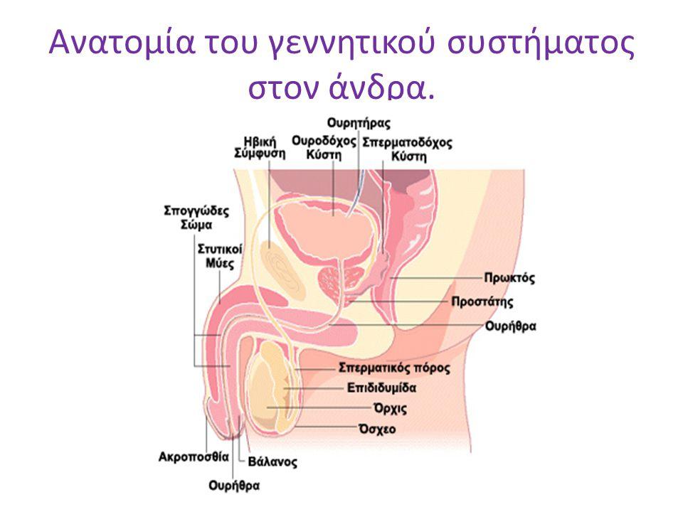 Ανατομία του γεννητικού συστήματος στον άνδρα.