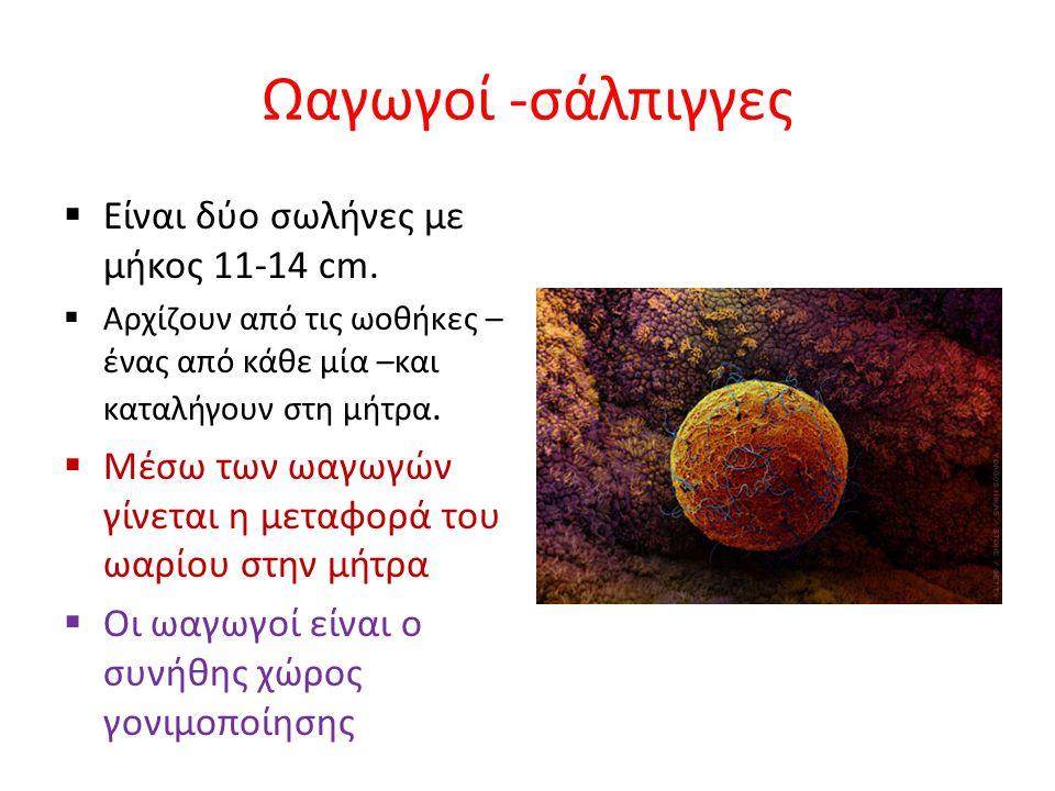 Ωαγωγοί -σάλπιγγες  Είναι δύο σωλήνες με μήκος 11-14 cm.