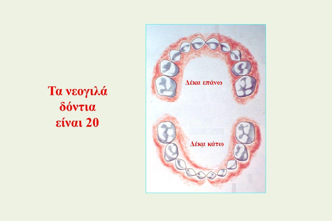 Τα νεογιλά δόντια είναι 20 Δέκα επάνω Δέκα κάτω