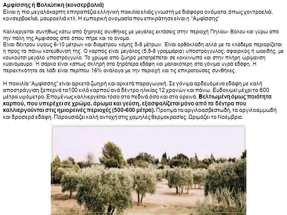 Αμφίσσης ή Βολιώτικη (κονσερβολιά) Είναι η πιο μεγαλόκαρπη επιτραπέζια ελληνική ποικιλία ελιάς γνωστή με διάφορα ονόματα, όπως χοντροελιά, κονσερβοελι