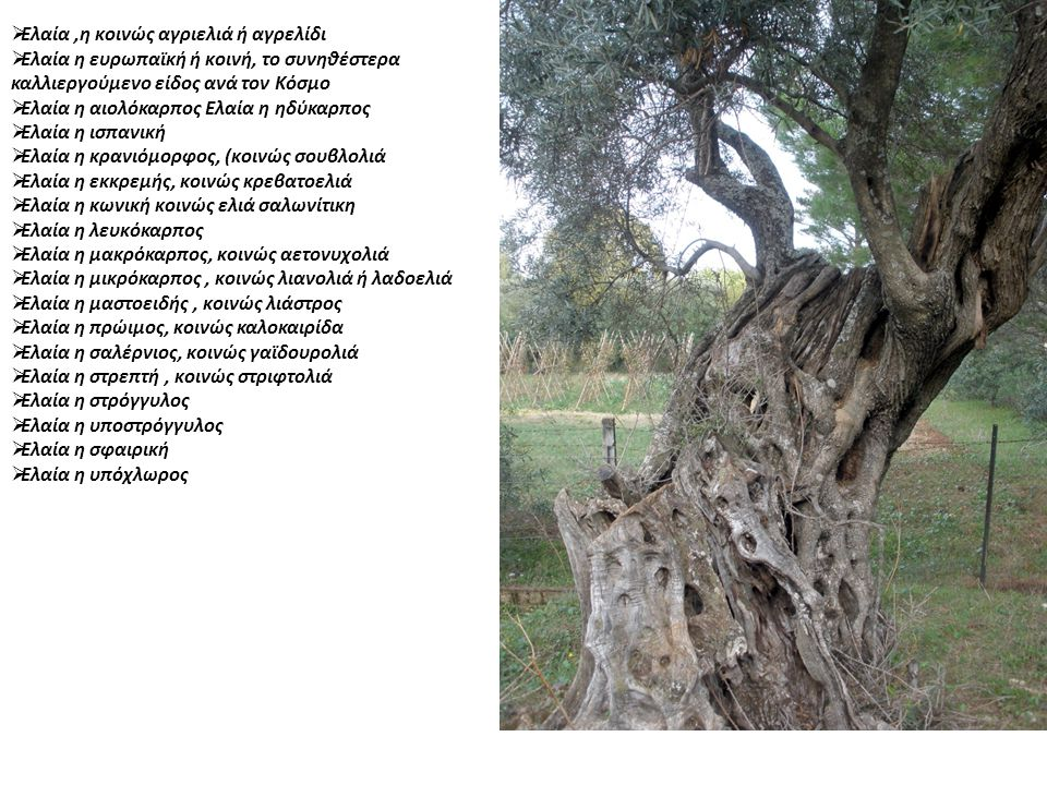 Αμφίσσης ή Βολιώτικη (κονσερβολιά) Είναι η πιο μεγαλόκαρπη επιτραπέζια ελληνική ποικιλία ελιάς γνωστή με διάφορα ονόματα, όπως χοντροελιά, κονσερβοελιά, μαυροελιά κτλ.