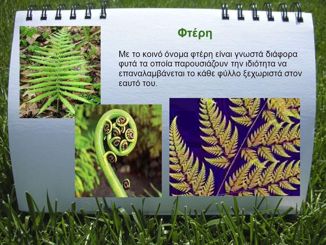 Φτέρη Με το κοινό όνομα φτέρη είναι γνωστά διάφορα φυτά τα οποία παρουσιάζουν την ιδιότητα να επαναλαμβάνεται το κάθε φύλλο ξεχωριστά στον εαυτό του.