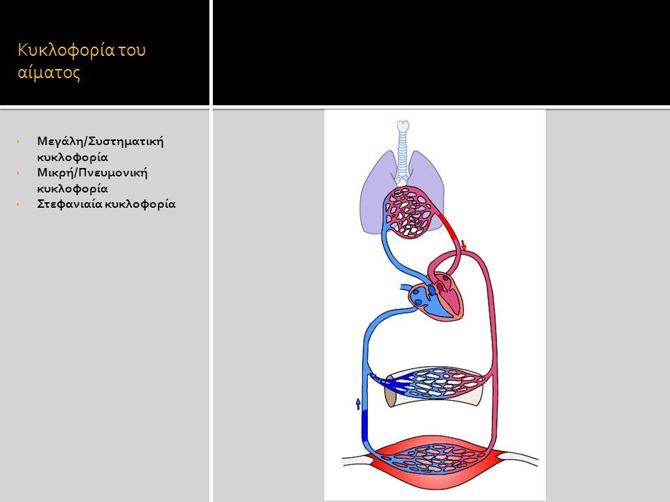 Κυκλοφορία του αίματος Μεγάλη/Συστηματική κυκλοφορία Μικρή/Πνευμονική κυκλοφορία Στεφανιαία κυκλοφορία