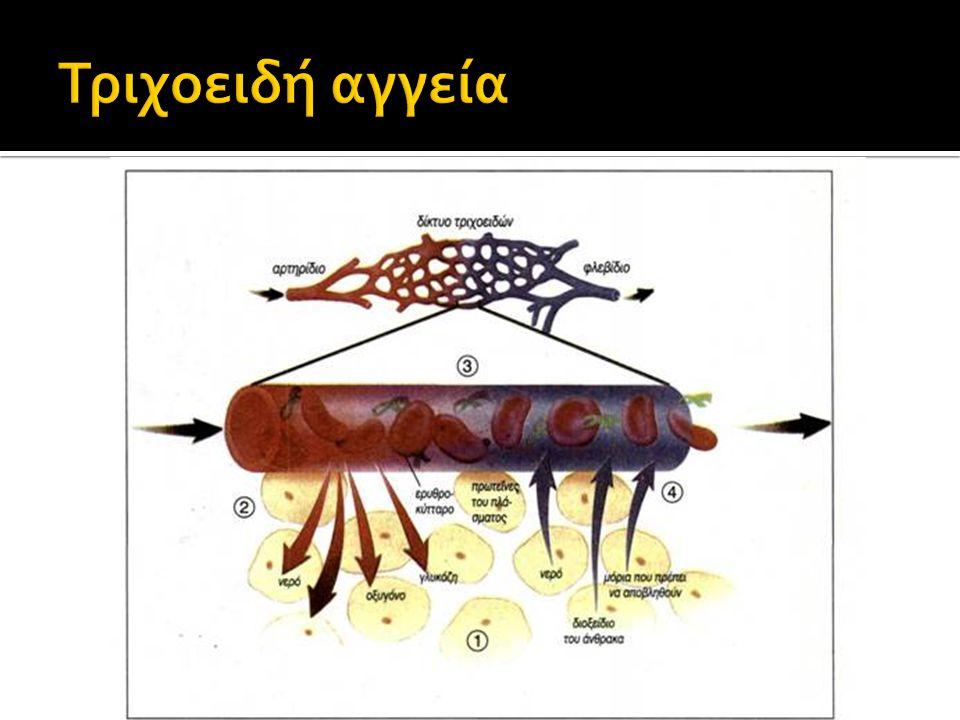 1.Μεταφορά O2/CO2/θρεπτικά/άχρηστα συστατικά/ορμόνες 2.