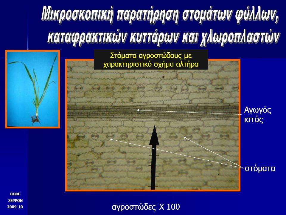 αγροστώδες Χ 100 Αγωγός ιστός στόματα Στόματα αγροστώδους με χαρακτηριστικό σχήμα αλτήρα ΕΚΦΕ ΣΕΡΡΩΝ 2009-10