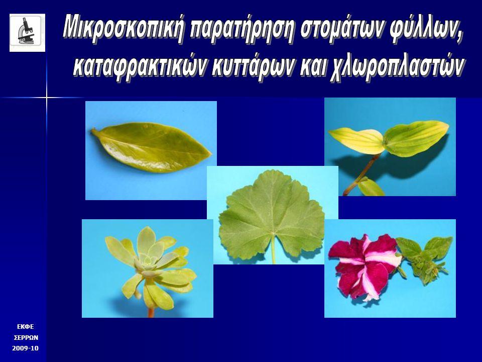 Γλιστρίδα Χ 100 πυρήνες στόματα ΕΚΦΕ ΣΕΡΡΩΝ 2009-10