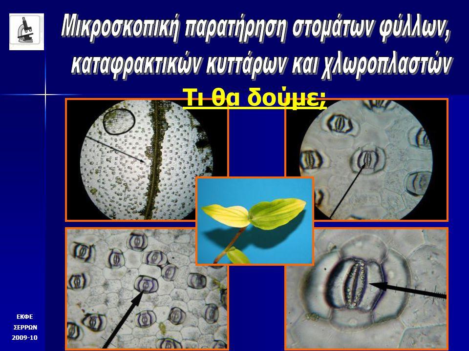 Τι θα δούμε; Παραστοματικά κύττρα πυρήνας χλωροπλάστες ΕΚΦΕ ΣΕΡΡΩΝ 2009-10 Καταφρακτικά κύτταρα