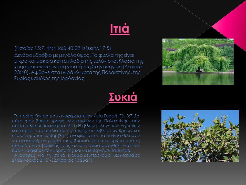 (Ησαΐας 15:7, 44:4, Ιώβ 40:22, Ιεζεκιήλ 17:5) Δένδρο υδρόβιο με μεγάλο ύψος. Τα φύλλα της είναι μικρά και μακριά και τα κλαδιά της ευλύγιστα. Κλαδιά τ