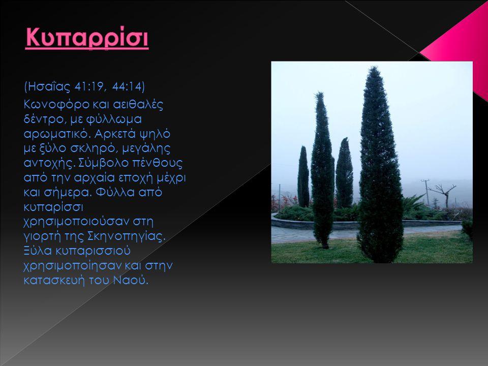 (Ησαΐας 41:19, 44:14) Κωνοφόρο και αειθαλές δέντρο, με φύλλωμα αρωματικό. Αρκετά ψηλό με ξύλο σκληρό, μεγάλης αντοχής. Σύμβολο πένθους από την αρχαία