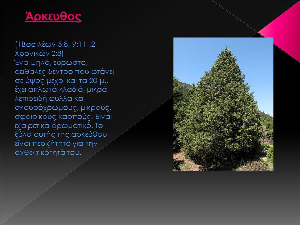 Άρκευθος (1Βασιλέων 5:8, 9:11,2 Χρονικών 2:8) Ένα ψηλό, εύρωστο, αειθαλές δέντρο που φτάνει σε ύψος μέχρι και τα 20 μ., έχει απλωτά κλαδιά, μικρά λεπι