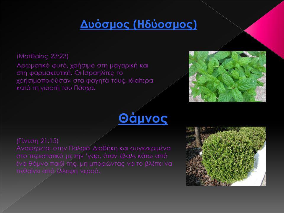 (Ματθαίος 23:23) Αρωματικό φυτό, χρήσιμο στη μαγειρική και στη φαρμακευτική. Οι Ισραηλίτες το χρησιμοποιούσαν στα φαγητά τους, ιδιαίτερα κατά τη γιορτ