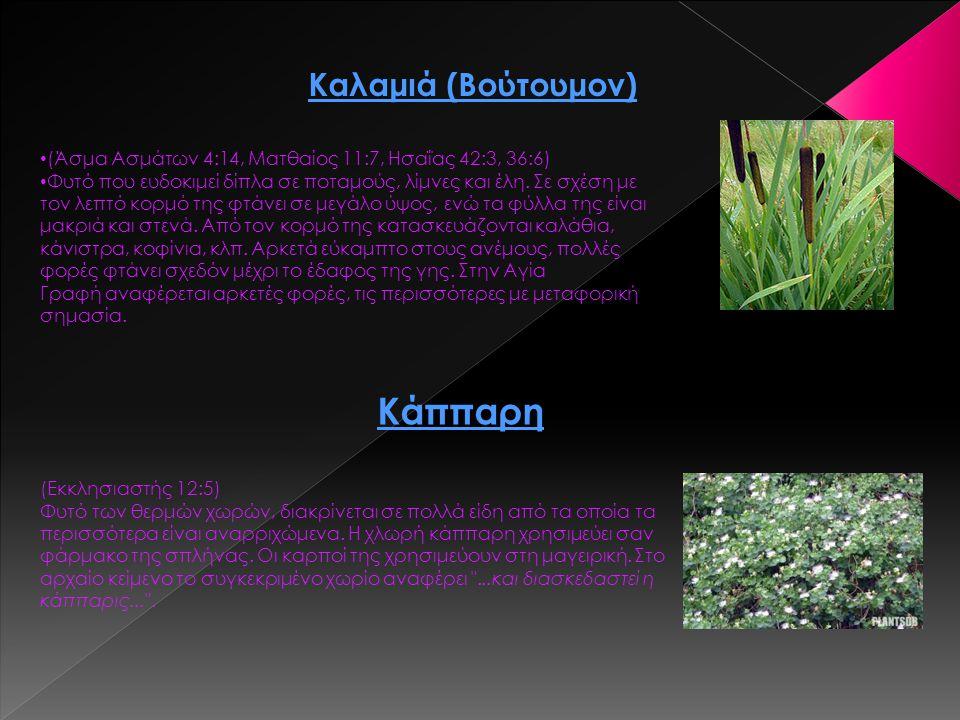 Καλαμιά (Βούτουμον) (Άσμα Ασμάτων 4:14, Ματθαίος 11:7, Ησαΐας 42:3, 36:6) Φυτό που ευδοκιμεί δίπλα σε ποταμούς, λίμνες και έλη. Σε σχέση με τον λεπτό