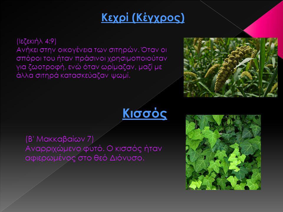 Κεχρί (Κέγχρος) (Ιεζεκιήλ 4:9) Ανήκει στην οικογένεια των σιτηρών. Όταν οι σπόροι του ήταν πράσινοι χρησιμοποιούταν για ζωοτροφή, ενώ όταν ωρίμαζαν, μ