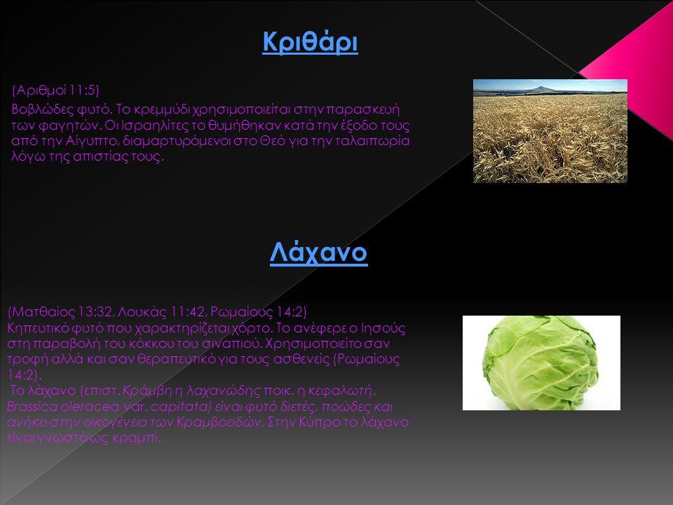 (Αριθμοί 11:5) Βοβλώδες φυτό. Το κρεμμύδι χρησιμοποιείται στην παρασκευή των φαγητών. Οι Ισραηλίτες το θυμήθηκαν κατά την έξοδο τους από την Αίγυπτο,