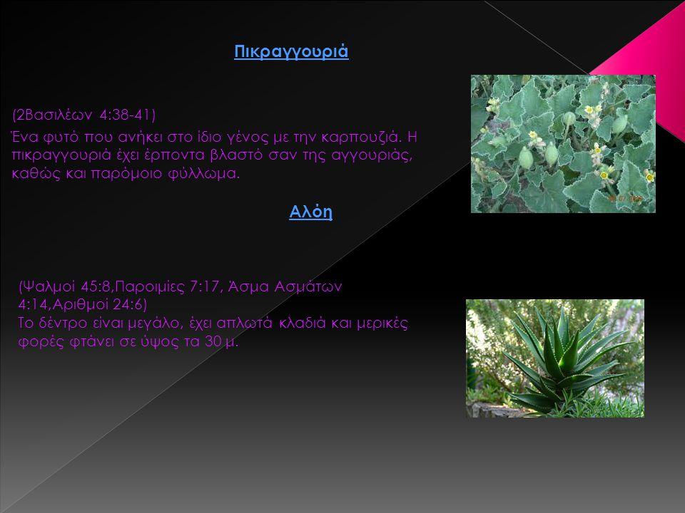 (2Βασιλέων 4:38-41) Ένα φυτό που ανήκει στο ίδιο γένος με την καρπουζιά. Η πικραγγουριά έχει έρποντα βλαστό σαν της αγγουριάς, καθώς και παρόμοιο φύλλ